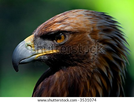 Golden Eagle portrait - stock photo
