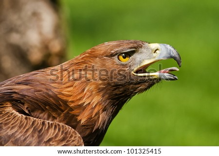 golden eagle pulled forward - stock photo