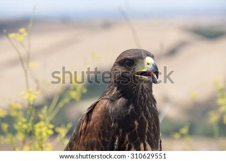 Golden eagle resting in the sun with open mouth - stock photo