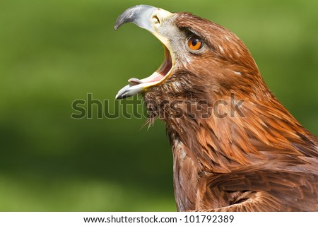golden eagle screaming - stock photo