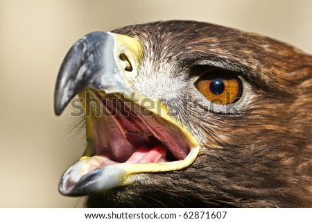 Golden Eagle Screaming close up - stock photo