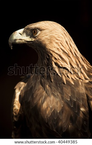 Golden eagle staring at left side. - stock photo