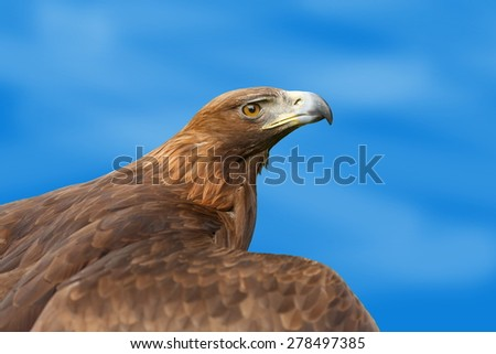 golden eagle with blue sky - stock photo