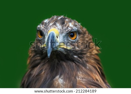 golden eagle with green background - stock photo