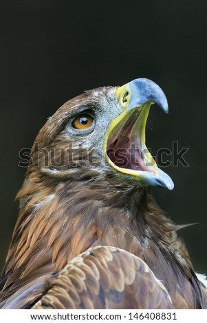 golden eagle with open beak - stock photo