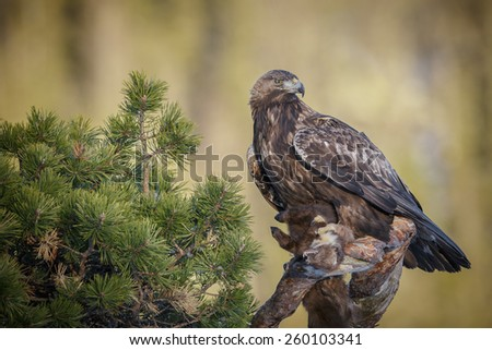 Golden eagle with prey - stock photo