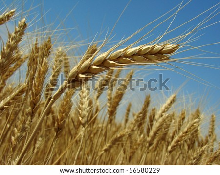 golden ear against ripening wheat field and blue sky