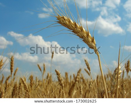 golden ear against ripening wheat field and cloudy sky                                - stock photo