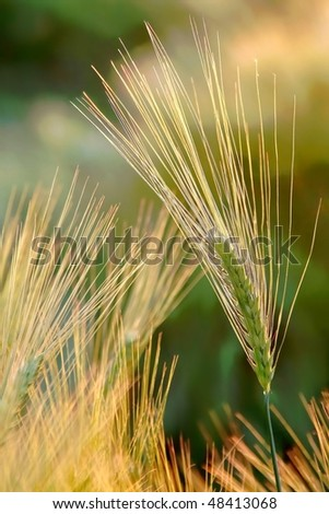 Golden ear of wheat in the field backlit by the light of the rising sun. - stock photo