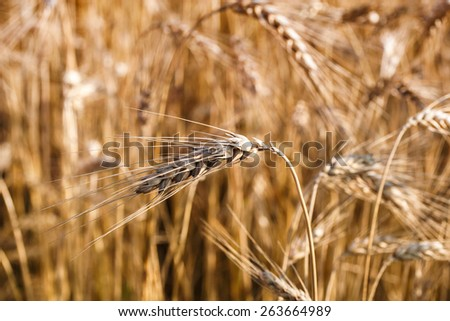 Golden ears and field of wheat ready to be harvested. Selective focus - stock photo