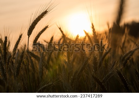 Golden ears of ripening wheat in a wheat field at dusk or sunrise backlit by the sun on the horizon. - stock photo