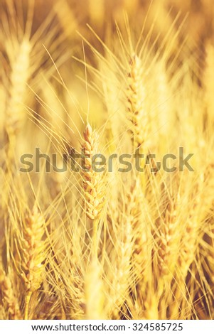 Golden ears of wheat at sunset, before the harvest.Special toned photo in vintage style