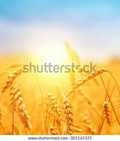 Golden ears of wheat in summer on the field.