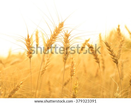 golden ears of wheat in the countryside field ready to harvest