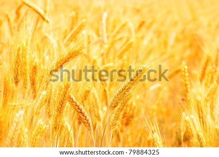 Golden ears of wheat on the field. Selective focus. - stock photo