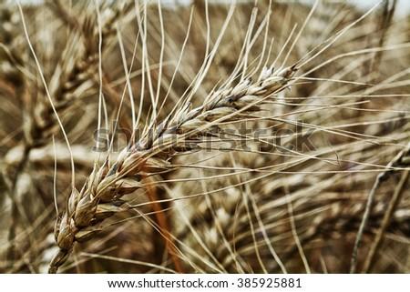 Golden ears of wheat on the field stilish - stock photo