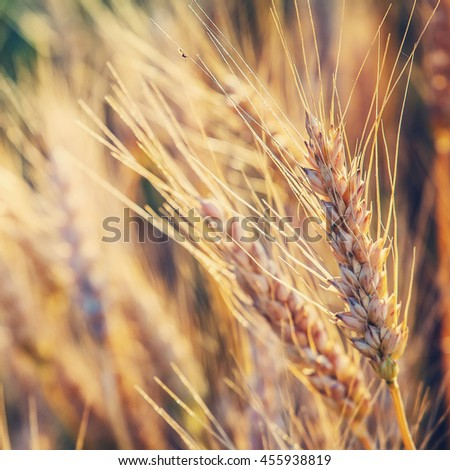 golden ears of wheat or rye, close up in sunny day. majestic rural landscape under shining sunlight. Rich harvest Concept. small depth of field. Soft lighting effects. - stock photo