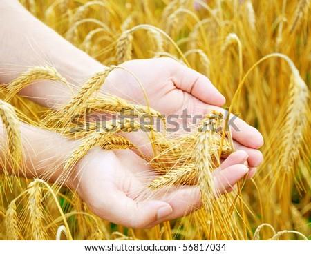 golden ears wheat in hands - stock photo