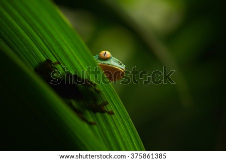 Golden-eyed leaf frog, Cruziohyla calcarifer, green frog hidden on the leaves, tree frog in the nature habitat, Corcovado, Costa Rica