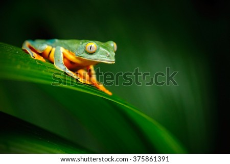 Golden-eyed leaf frog, Cruziohyla calcarifer, green frog sitting on the leaves, tree frog in the nature habitat, Corcovado, Costa Rica - stock photo