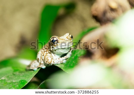 golden-eyed tree frog or Amazon milk frog (Trachycephalus resinifictrix) close up. This frog lives in the Amazonian rainforest - stock photo