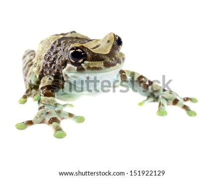 Golden-eyed tree frog or Amazon milk frog Trachycephalus resinifictrix isolated - stock photo