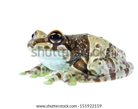 Golden-eyed tree frog or Amazon milk frog Trachycephalus resinifictrix isolated