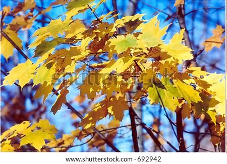 Golden Fall Leaves - stock photo