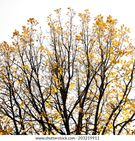 Golden fall leaves on tree branches against white background - stock photo