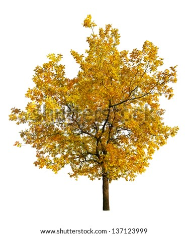 golden fall oak isolated on white background - stock photo