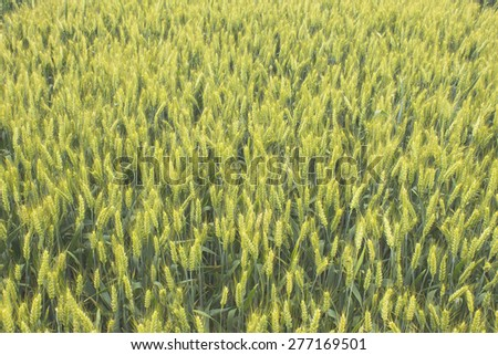 Golden Field Agriculture industrial , barley grain wheat field - stock photo
