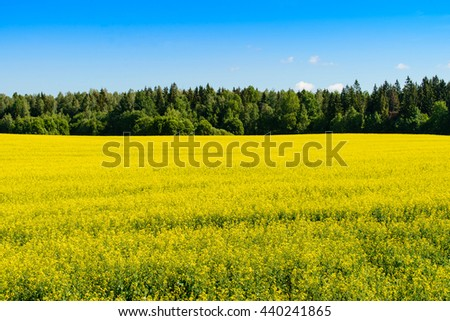 golden field of flowering rapeseed with blue sky plant for green energy and oil industry