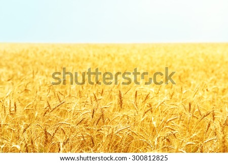 golden field of ripe wheat. agricultural background - stock photo