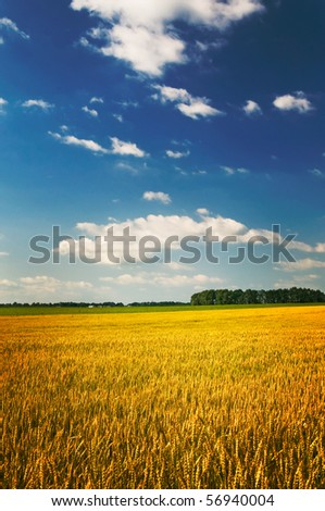 Golden field of ripe wheat by summer. - stock photo