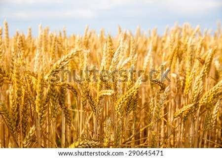 golden field of wheat on a sunny day