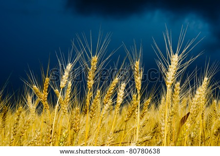 golden field with dramatic sky. rain before - stock photo