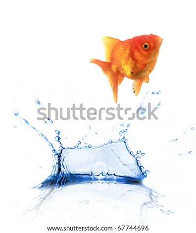 Golden fish Carassius auratus jumping out of water - stock photo