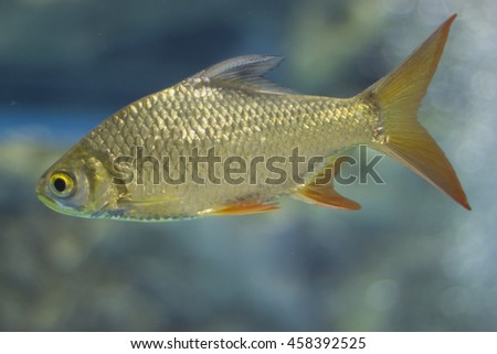 Golden fish, Freswater fish, In Thailand.