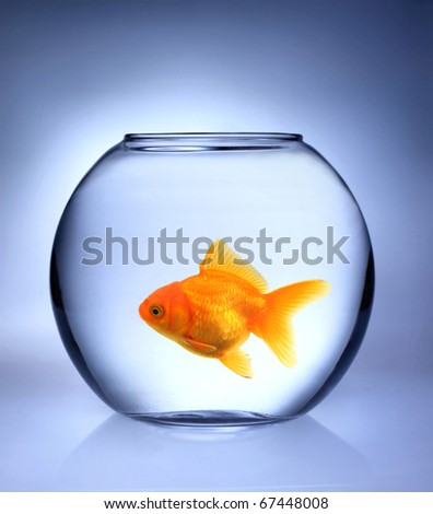 GOlden fish in bowl aquarium - stock photo