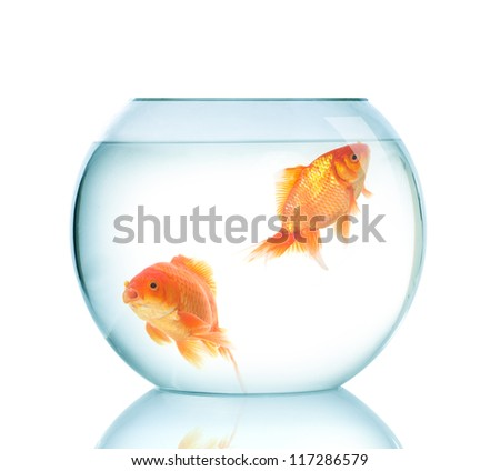 Golden fish in fish bowl. - stock photo