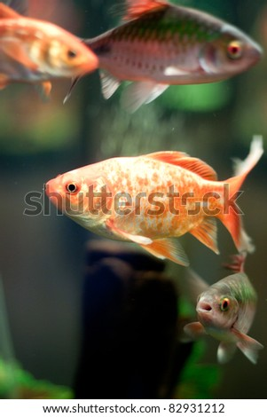 Golden fish in fishtank