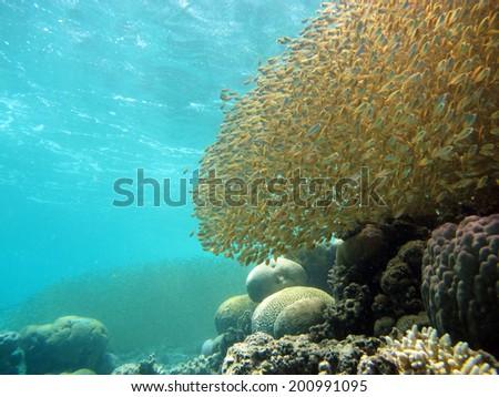Golden fish school - stock photo