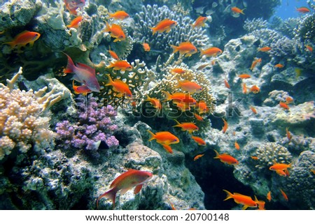 Golden fishes of the Red Sea (Pseudanthias squamiphinnis) - stock photo