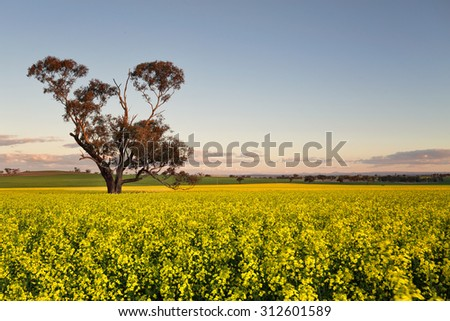 Golden flowering canola field at dusk.  Focus to tree trunk.