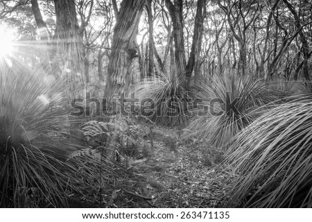 Golden forest landscape scenic at sunset with sunlight beaming in through trees in black and white - stock photo