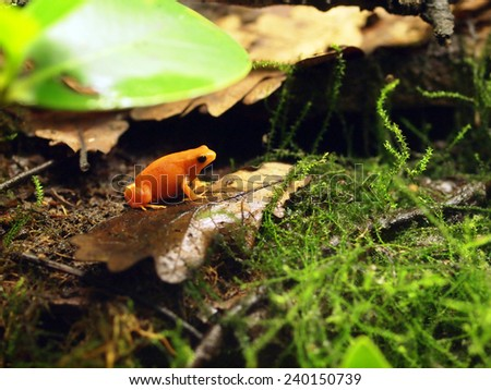 Golden frog - stock photo