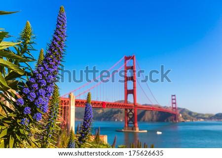 Golden Gate Bridge San Francisco purple flowers Echium candicans in California - stock photo