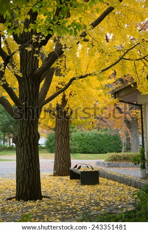 golden ginkgo leaves in japan park - stock photo