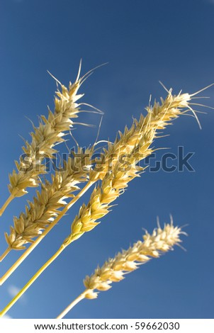 Golden grain ears of a wheat over blue sky background.. Closeup.