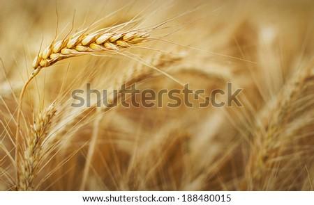 Golden grain ready for harvest growing in a farm field - stock photo